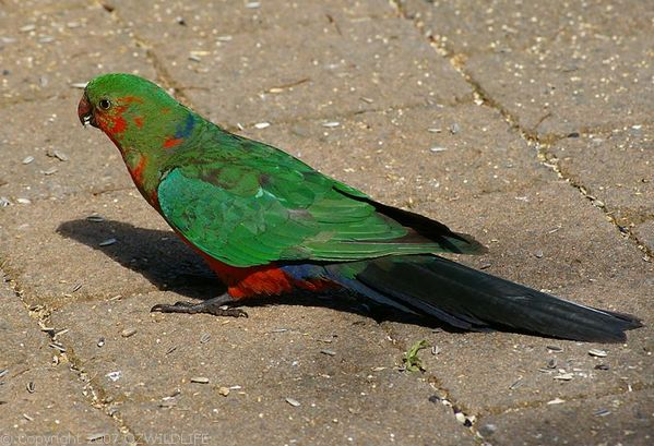 King Parrot | Alisterus scapularis photo