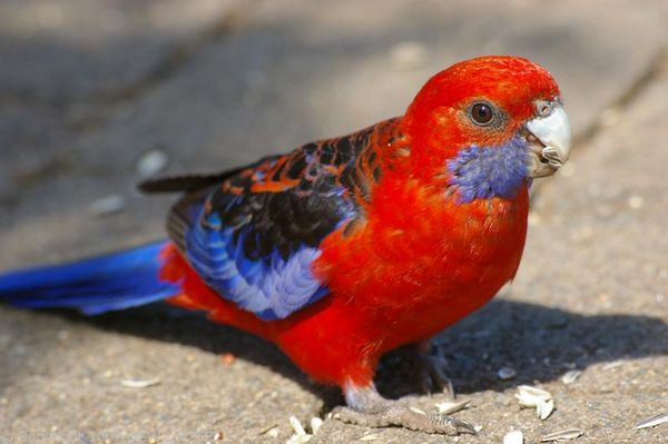 Crimson Rosella | Platycercus elegans photo
