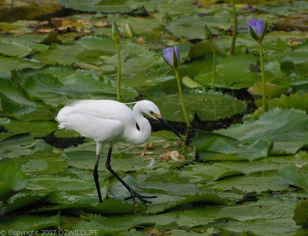 Little Egret | Egretta garzetta photo