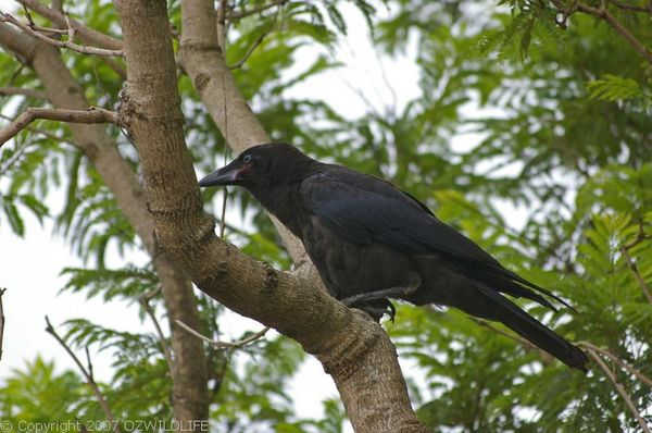 Torresian Crow | Corvus orru photo