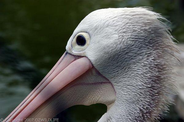 Australian Pelican | Pelecanus conspicillatus photo
