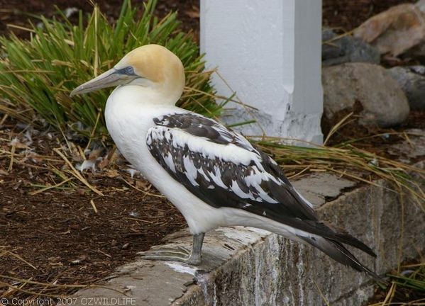 Australian Gannet | Morus serrator photo