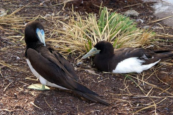 Brown Booby | Sula leucogaster photo
