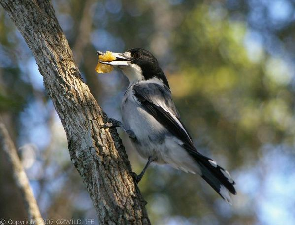 Grey Butcher Bird | Cracticus torquatus photo