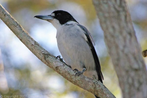 Grey Butcher Bird | Cracticus torquatus photo