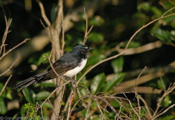 Willie Wagtail | Rhipidura leucophrys photo