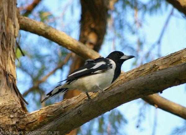 Pied Butcher Bird   Cracticus nigrogularis photo