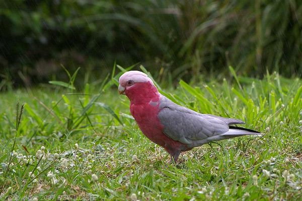 Galah | Cacatua roseicapilla photo