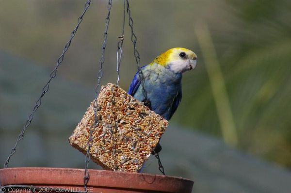 Pale-headed Rosella | Platycercus adscitus photo
