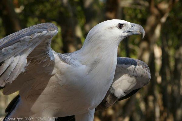 White-bellied Sea-Eagle   Haliaeetus leucogaster photo