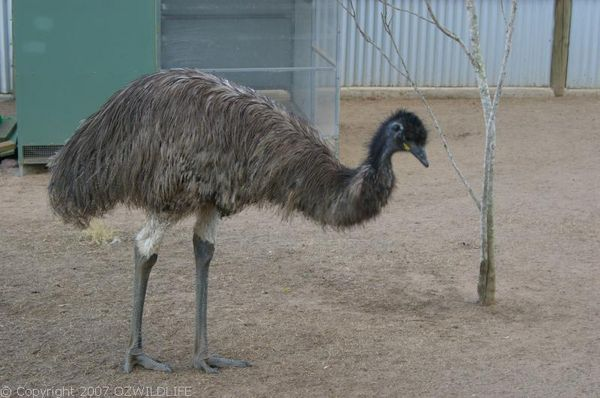 Emu | Dromaius novaehollandiae photo