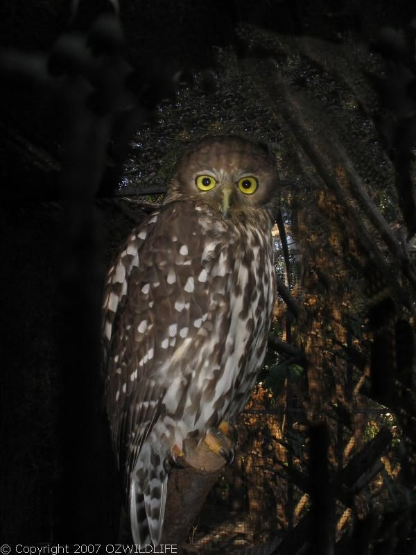 Barking Owl | Ninox connivens photo