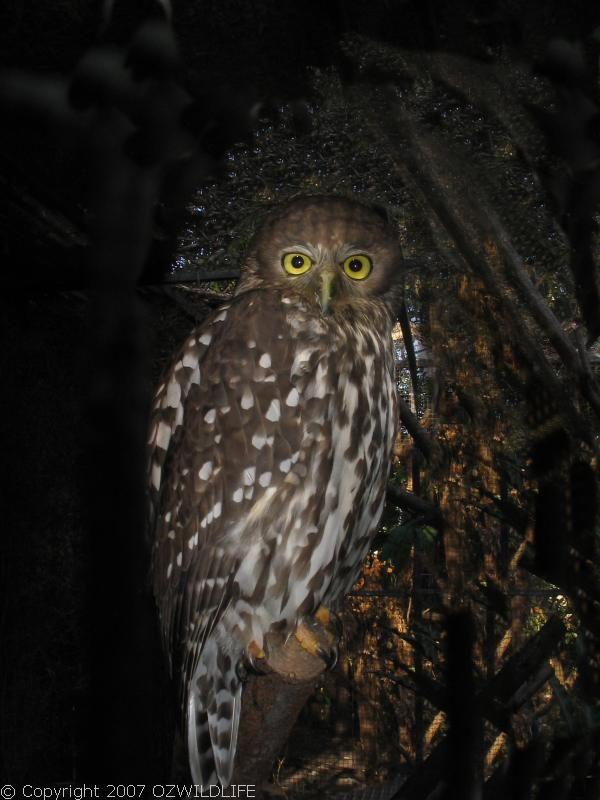 Barking Owl | Ninox connivens photo