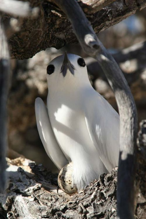 White Tern   Gygis alba photo
