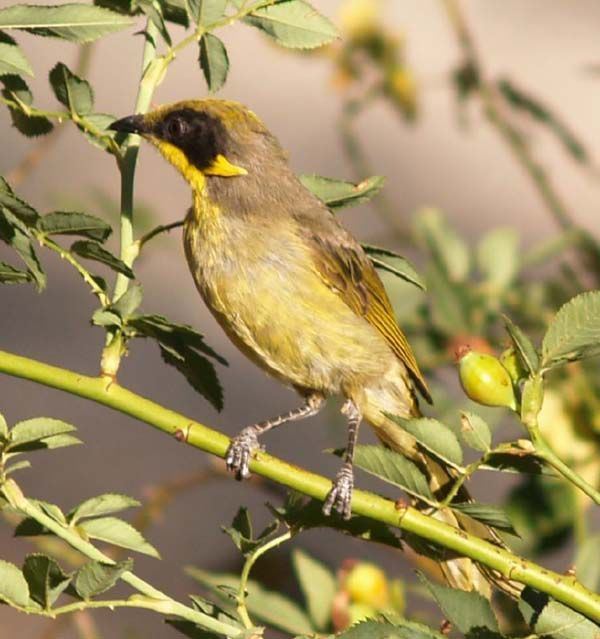 Purple-gaped Honeyeater | Lichenostomus cratitius photo