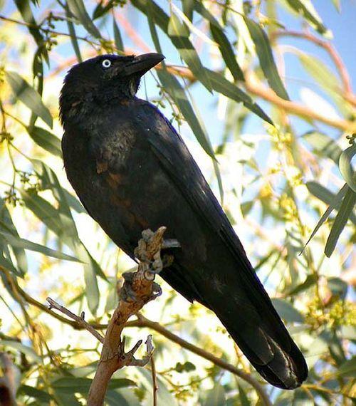Little Crow | Corvus bennetti photo