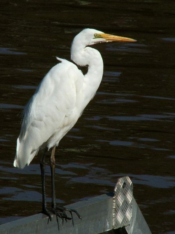 Great Egret   Ardea alba photo