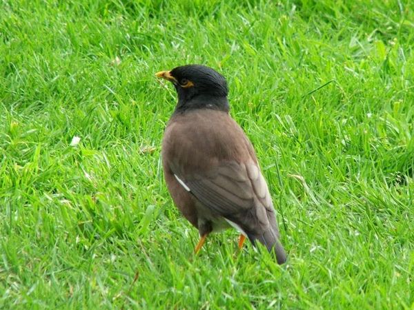 Common Myna | Acridotheres tristis photo