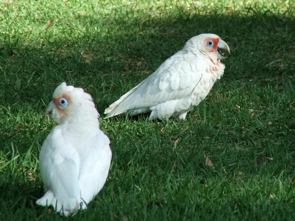 Little Corella | Cacatua sanguinea photo