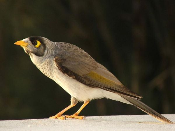 Noisy Miner | Manorina melanocephala photo