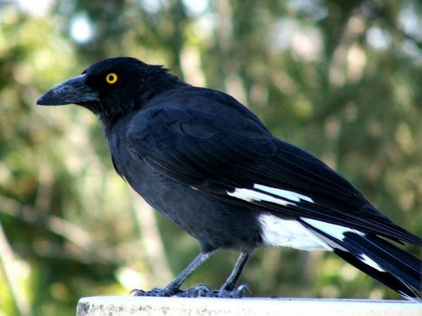 Pied Currawong | Strepera graculina photo