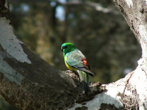 Red-rumped Parrot | Psephotus haematonotus photo