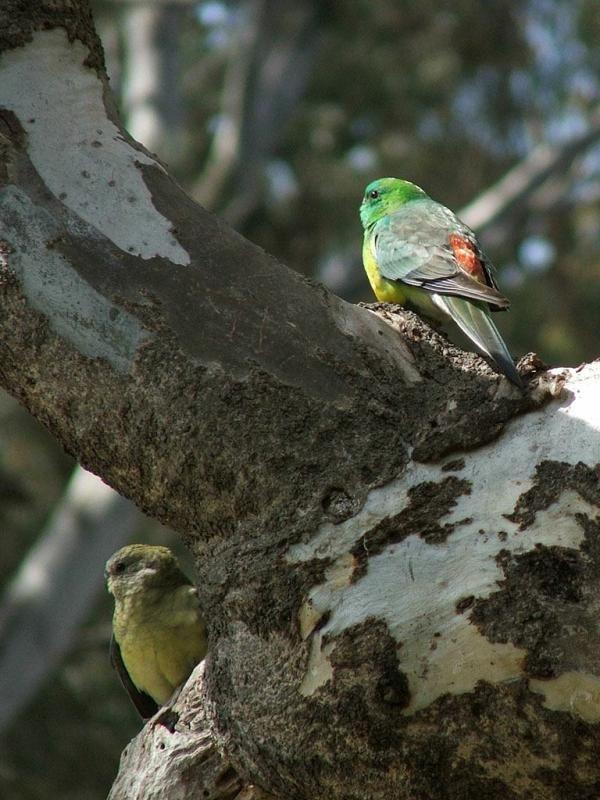 Red-rumped Parrot | Psephotus haematonotus photo