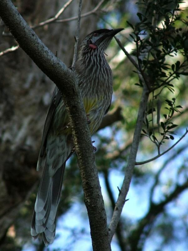 Red Wattlebird | Anthochaera carunculata photo