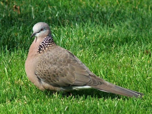 Spotted Turtle-Dove | Streptopelia chinensis photo