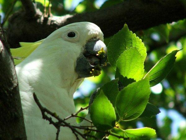 Sulphur-crested Cockatoo | Cacatua galerita photo
