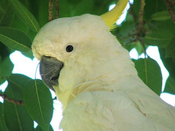 Sulphur-crested Cockatoo | Cacatua galerita photo
