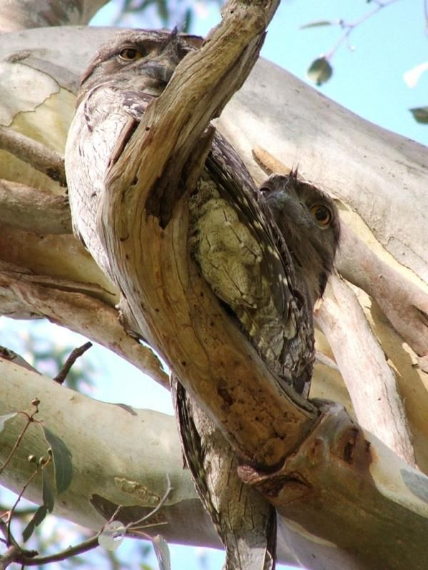 Tawny Frogmouth | Podargus strigoides photo