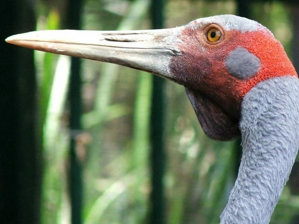 Brolga | Grus rubicunda photo