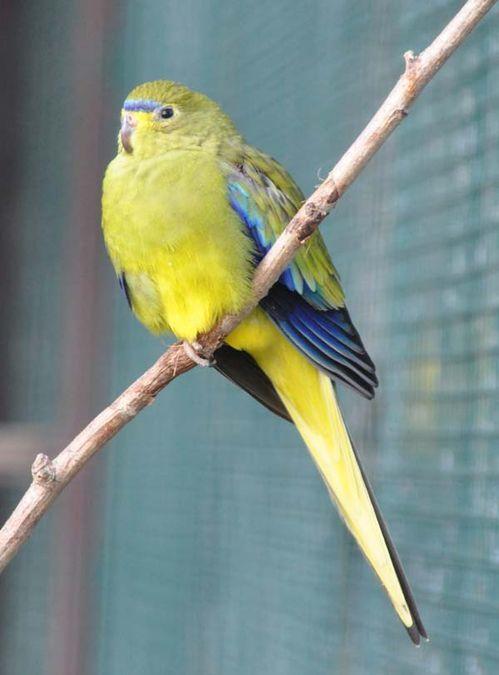 Elegant Parrot | Neophema elegans photo
