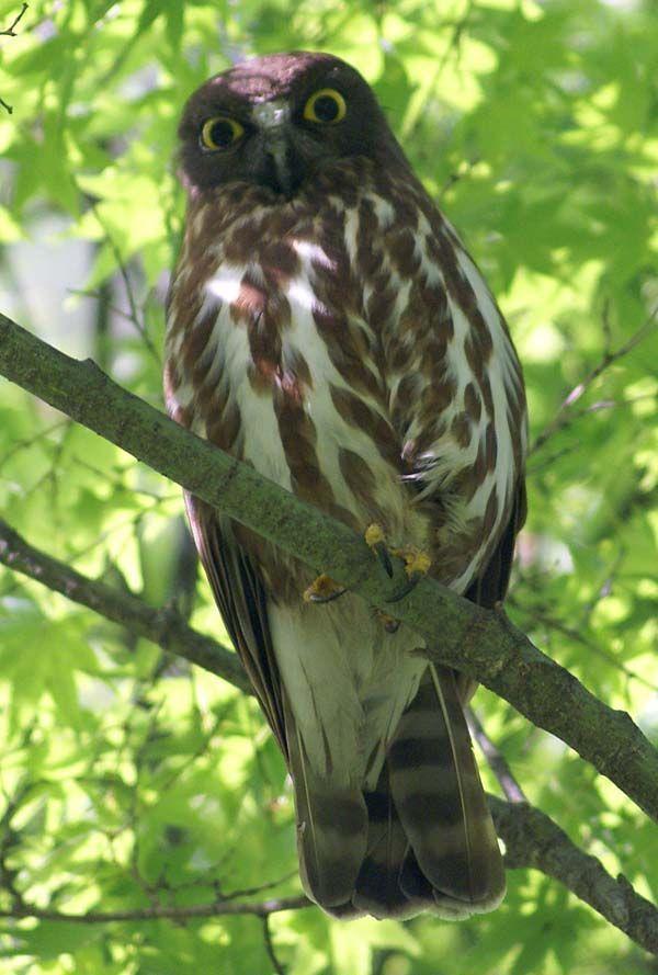 Brown Hawk-Owl | Ninox scutulata photo