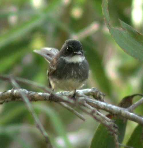 Northern Fantail | Rhipidura rufiventris photo