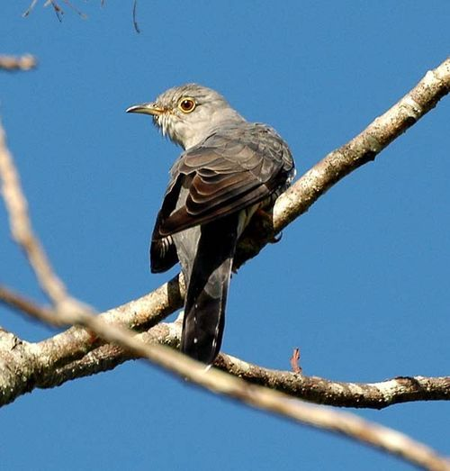 Oriental Cuckoo | Cuculus optatus photo