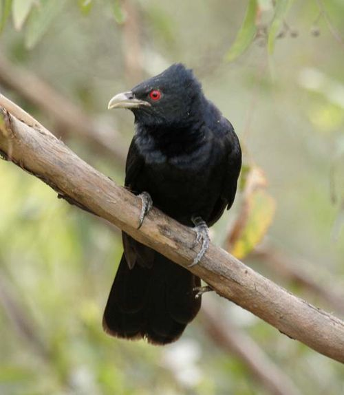 Pacific Koel | Eudynamys orientalis photo