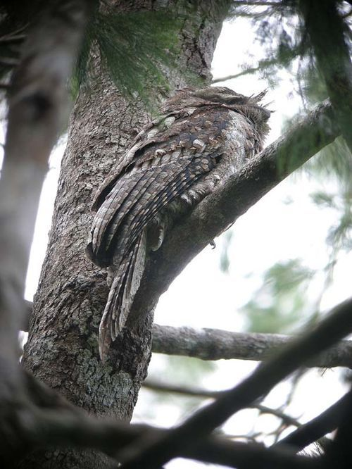 Marbled Frogmouth | Podargus ocellatus photo