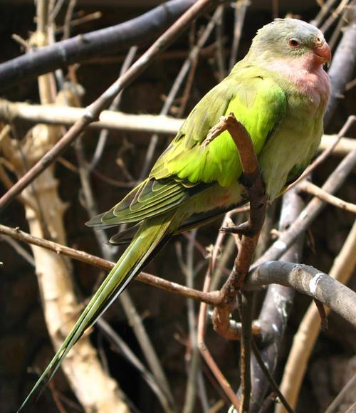 Princess Parrot | Polytelis alexandrae photo