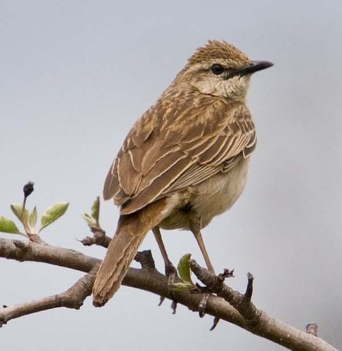 Rufous Songlark | Cincloramphus mathewsi photo