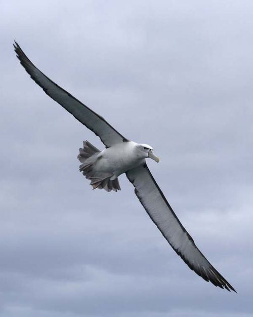 Shy Albatross | Thalassarche cauta photo