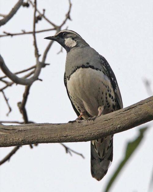 Spotted Quail-thrush | Cinclosoma punctatum photo