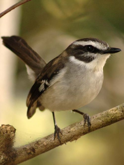 White-browed Robin | Poecilodryas superciliosa photo