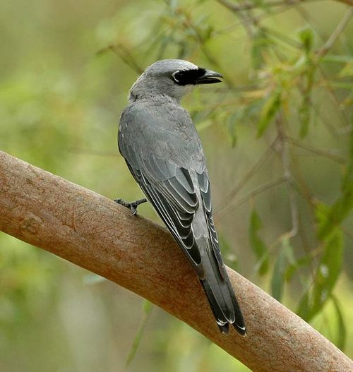 White-bellied Cuckoo-shrike | Coracina papuensis photo