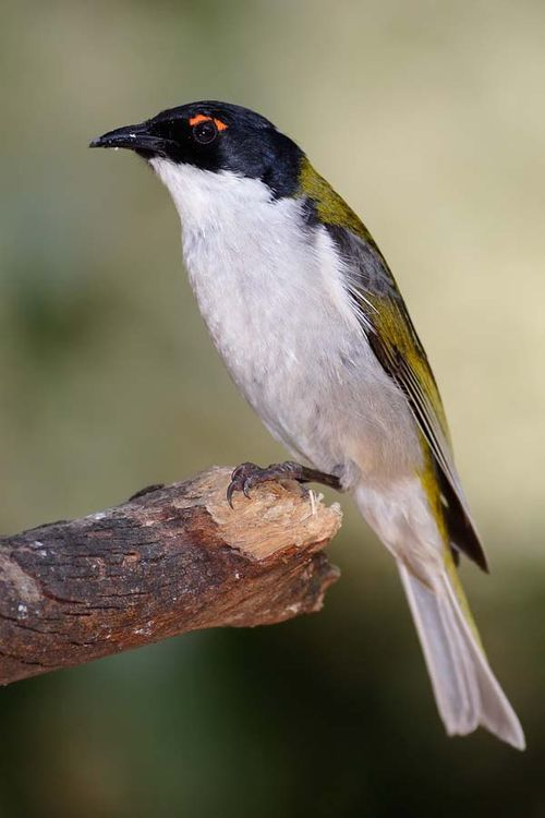White-naped Honeyeater | Melithreptus lunatus photo