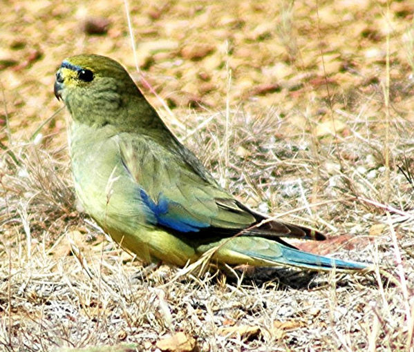 Blue-winged Parrot | Neophema chrysostoma photo