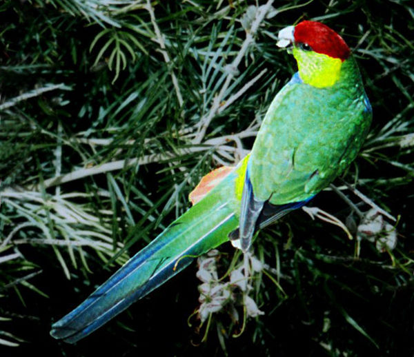 pictures of red capped parrot in zoo