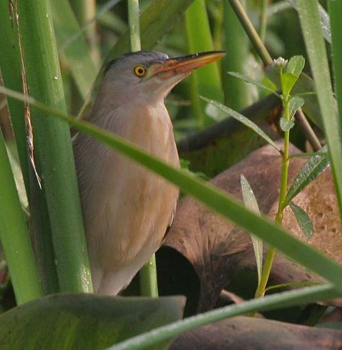 Yellow Bittern | Ixobrychus sinensis photo