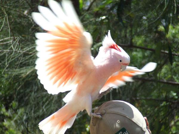 Major Mitchell's Cockatoo | Cacatua leadbeateri photo